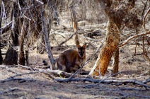 Macropus rufogriseus (Bennet's Wallaby) ©ALBARKEO 2016