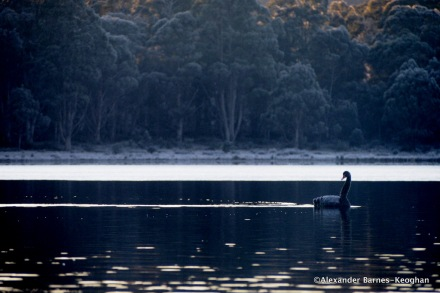 Cygnus atratus (Black Swan)