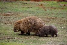 Vombatus ursinus (Common Wombat)