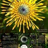 Golden Spirals Fact Sheet (2014), Isopogon Anemonifolious (Broad-leaf Drumstick)