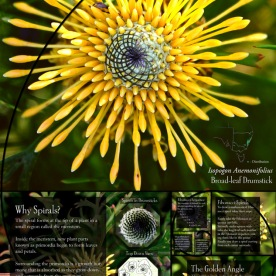 Golden Spirals Fact Sheet (2014), Isopogon Anemonifolious (Broad-leaf Drumstick)